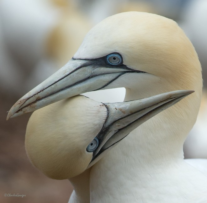Gannet-Couple_2a_CMG3476-Edit_1200