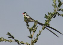 Pin-tailed-Whydah_9584