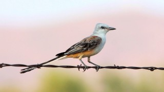 Scissor-tailed-Flycatcher3