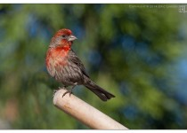 house_finch1