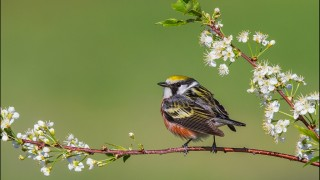 tn_Chestnut-sided-Warbler_2462-1