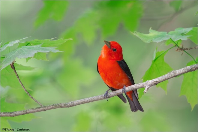 tn_Scarlet-Tanager_3759-1