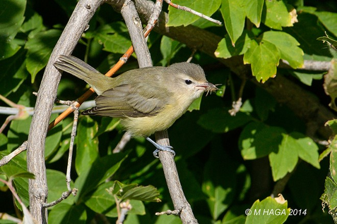 Warbling Vireo, perched, holding a spider in its bill.