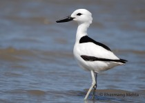 CSC_0424-2-Crab-Plover-Photographed-by-Bhasmang-Mehta-India