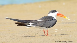 DSC_8373-Indian-Skimmer-Photographed-by-Bhasmang-Mehta-India