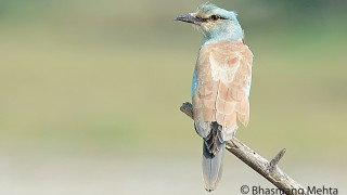 DSC_8426-European-Roller-Photographed-by-Bhasmang-Mehta-India