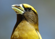 Evening-Grosbeaks-610-1