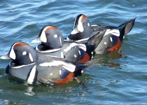 Harlequin-Ducks