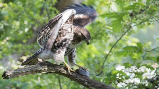Juvenile-Red-tailed-Hawk-5