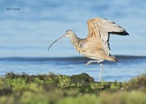 Long-billed-Curlew-2
