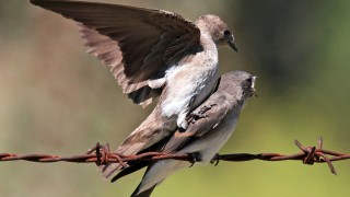 NRWS-fledgling-mounting_0823