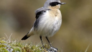 Northern Wheatear, Whiteworks, Dartmoor, Devon, England, by Aviceda (Wikimedia Commons).