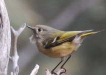 Ruby-crowned-kinglet-2