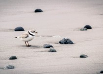 The-Endangered-Piping-Plover