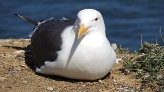 Western-Gull1