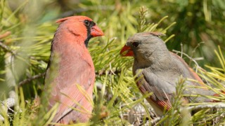 Male and female Northern Cardinals attend a nest in Chicago. Photo by JanetandPhil (Creative Commons)