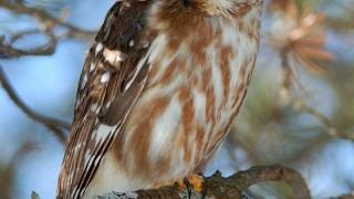 Northern Saw-whet Owl by newfoundlander61
