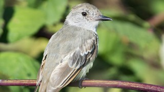 Ash-throated-Flycatcher-03