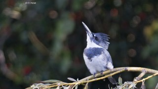 Belted-Kingfisher-07