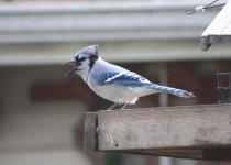 Blue-Jay-Oct.-5-2014-2