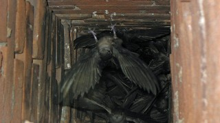 Chimney Swifts inside a chimney in Perryville, Missouri. Photo by Greg Schechter (Creative Commons)