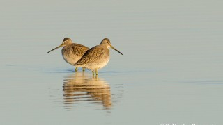 DSC0069-Short-billed-Dowitchers