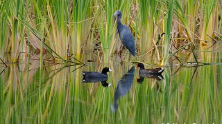 DSC0170-Little-Blue-Coot-Gallinule