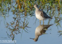 DSC0314-Lesser-Yellowlegs