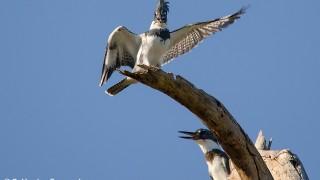 DSC0445-Belted-Kingfishers