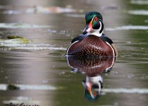 Drake_Wood_Duck_Small