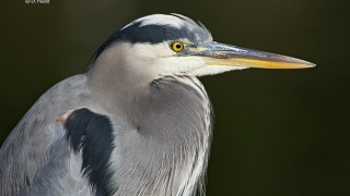 Great-Blue-Heron-01