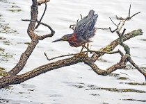 Green-Heron-at-LSU-lakes