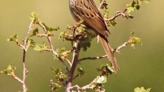 Lincolns-Sparrow-Wilson-Meadow-6-9-12-5-200PI