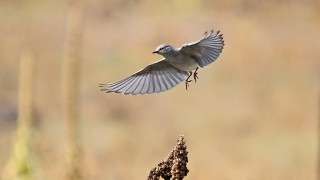 Mountain-Bluebird-Lower-Lake-Mary-10-18-14-3-200PI