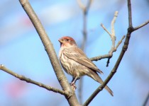 NJ-House-Finch