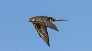 Peregrine Falcon at Jekyll Island, Georgia, by Marvin Smith