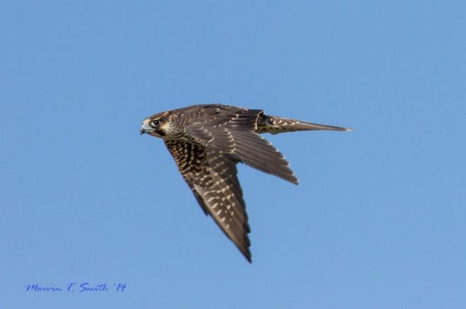 Peregrine Falcon at Jekyll Island, Georgia, by Marvin Smith
