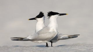 Sandwich-Terns