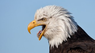 Screaming-Eagle