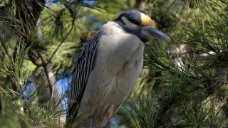 Yellow-crowned-Night-Heron-2