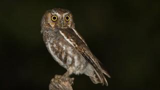 elf-owl-5361