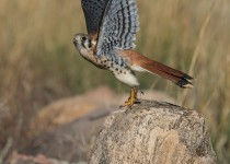 American-Kestrel-take-off