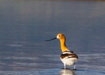 American-avocet-sunlight