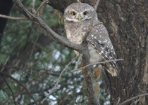 Ashok-Spotted Owlet
