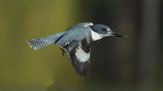 Belted-Kingfisher-flying