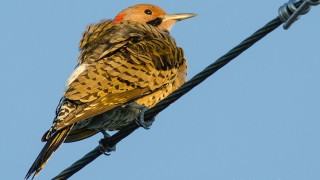 DSC0023-Northern-Flicker
