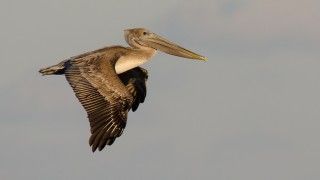 DSC0051-Brown-Pelican