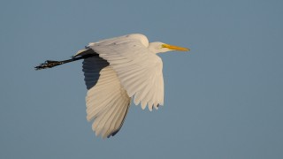 DSC0062-Great-Egret