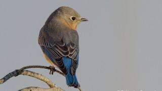 DSC0078-Eastern-Bluebird