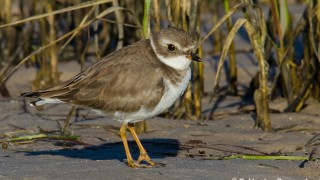 DSC0157-Semipalmated-Plover